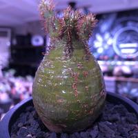 packypodium  gracilius《S size》激希少‼︎極green肌※現地球発根済株※怖いほど濃くはっきりとしたgreen-color肌なまん丸グラキ※mad black pot植え