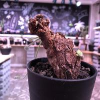 pelargonium  triste《M size》