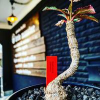 euphorbia cremersii《M size》※ぽっこり塊根&葉の表と裏がcolor違いの上、mad質で渋い肌質が大変カッコ良く上品な一株‼︎※mad black bowl pot植え