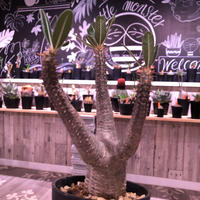 packypodium    cactipes《M size》発根済み株