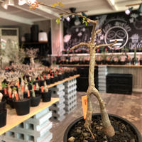 opercullicarya decaryi  littmon seed🌱 《3年株》※成長早く感じ育てられる上、幹上がり仕立てのインテリア性高き一株※mad  black  pot植え