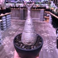 packypodium  gracilius《大きめS  size》※現地球発根済株‼︎※下部にある穴がcharmpointな可愛い一頭枝グラキ‼︎※mad black bowl pot植え