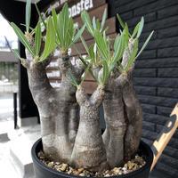 packypodium  inopinatum《M size》3分頭株!希少size  現地球  発根済み株‼︎