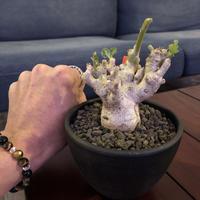 pterodiscus  luridus《M size》枝ぶり良きでっぷり白肌美株‼︎  ※mad  black  bowl  pot植え
