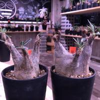 packypodium    cactipes《S size》⚠️未発根株