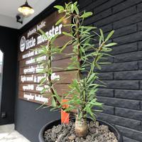 fouquieria  purpusii《大きめM size》希少大きめ株※現地球発根済株※株元大きめのbalance&肌質&特化した美しい柄‼︎オススメ株※mad black pot植え