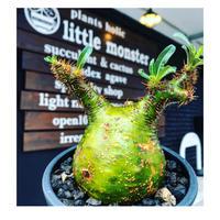 pachypodium  gracilius《M size》驚愕‼︎激希少株※現地球発根後店主国内管理2年株※greenを通り越したヤバすぎる渾身の一期一会株※mad black pot植え