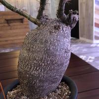 packypodium  bispinosum