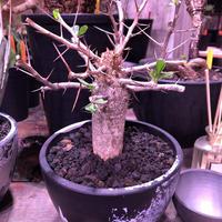 fouquieria    columnaris 観峰玉 《L size》mad  black  marble   bowl  pot  植え ※店主管理6年株 10/17芽吹き確認済み