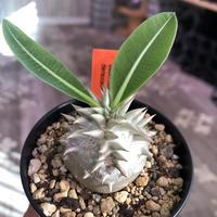 packypodium densicaule恵比寿大黒 littmon  seed🌱《大きめS size》※超球体&肌質が堪らないかわいさ‼︎※限定1株