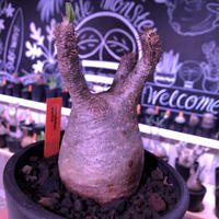 packypodium  gracilius 美株 《M size》  現地球  発根済み株   mad black pot植え(限定①株)