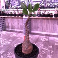 packypodium  windsorii《Msize》現地球発根済み株‼︎今後の枝振りの展開で更に見違えます‼︎ ※mad black pot植え