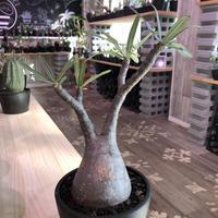 packypodium  gracilius《大きめM size》※現地球発根済み株‼︎  (限定1株)※丈の締まったぼってり希少二頭枝グラキ※mad black bowl pot植え