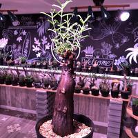 mestoklema   tuberosum《M  size》※冬季も成長開花する潅木‼︎上品な美肌株‼︎