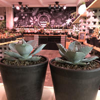 agave  pygmaea  dragon toes《M  size》※発根済株※店主国内管理2年株※良きcolor良きサイズ感‼︎極美オススメ株※mad black pot植え※限定2株