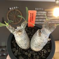 pachypodium gracilius《S size》白肌&W-he'd株※現地球発根後店主国内管理2年株※美しくかわいすぎる一株※mad black pot植え