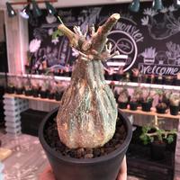 momordica  rostrata《大きめS  size》※ロストラータらしい装いのままミニチュア化した希少‼︎激かわ手乗りsize‼︎オススメ株※mad black pot植え