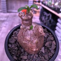packypodium bispinosum 《S size》※現地球発根済株‼︎※ぼってりと球体茶肌株で愛くるしさ満点‼︎※mad black pot植え