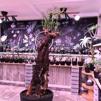 mestoklema   tuberosum《L  size》※冬季も成長開花する潅木‼︎肌質、表皮、color出で立ちヤバい一株‼︎※mad black pot植え