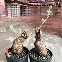 pelargonium  triste《L size》big‼︎ トリステ!!