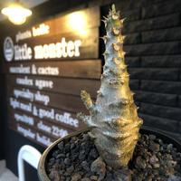 packypodium  windsorii《M size》※激希少‼︎現地実生発根済株※現地ならではの肌質‼︎将来性高きbalance&枝振り良きぼってり樹形‼︎※mad black pot植え