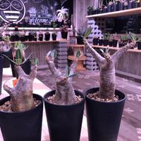 packypodium    cactipes《S size》発根済み株‼︎