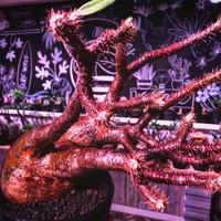 packypodium  gracilius《Lsize》※現地球発根済み株‼︎  ※激しくもbalance良き枝振りの赤肌グラキ‼︎店主管理国内5年株※mad black bowl pot植え