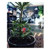 希少 dorstenia   gigas《大きめM size》littmon  seed🌱5年株※17本枝を出しぼってり株元&良樹形balanceの将来有望ギガス※mad black pot植え