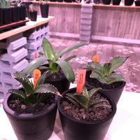 agave   littmon 4株set🌵《titanota.赤猫.BB.parryi》※セットのみ販売‼︎※mad black pot植え