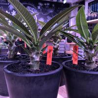 packypodium  baronii  《S size》 発根済み  ※mad  black  pot植え