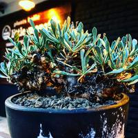 othonna   euphorbioides《L size》black肌※三分頭な最高balance株‼︎ウェイトが下にある堪らない樹形※mad black marble bowl pot植え
