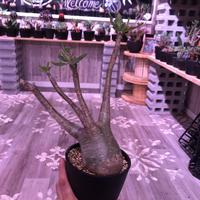 packypodium  gracilius《L size》 ※現地球株  発根済み株‼︎  (限定8株)