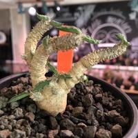 euphorbia tulearensis《M size》※枝も肉厚で太くかっこ良く塊根も丁度良きサイズ感のおすすめ株‼︎美しく希少性激高塊根ユーフォルビア※mad black pot植え