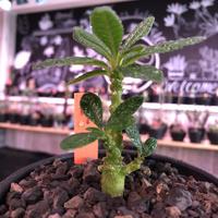 希少 dorstenia   gigas《大きめS size》littmon  seed🌱 株幹幅共にずっしり構えで良き枝ぶりの将来有望ギガス‼︎※mad black bowl pot植え