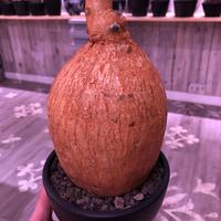 adenium   obesum《L  size》※現地球発根済株‼︎驚愕株‼︎これぞ‼︎正真正銘本物現地球オベスム‼︎ケニアフォーム‼︎※mad black bowl pot植え