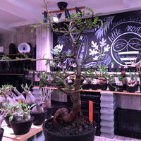 opercullicarya  packypus  littmon  seed🌱 《13年目株》※幹も太く表皮のボコボコも強く出た当店作り込み長き丈の締まったパキプス※mad black pot植え