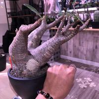 packypodium    makayense《L size》※現地球発根済み株‼︎ ※驚愕‼︎超極太魔界‼︎ボコボコ筋強きwild株※mad black bowl pot植え