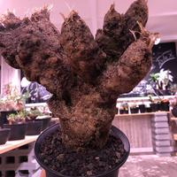 Xerophyta   Trichophylla《L L size》発根済み株   芽吹き待ち