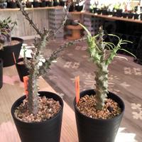 ceropegia   dimorpha《M size》※独創性高き二色のmonster‼︎※限定2株
