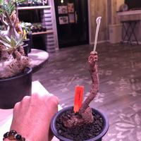 pelargonium  triste《M size》※大変生命力を感じる特化した株裏の樹形‼︎