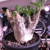 packypodium  cactipes 《M  size》※現地球発根済株※店主国内管理4年株※カクチらしい肌質とcolorそして管理長き良樹形株‼︎※mad black pot植え