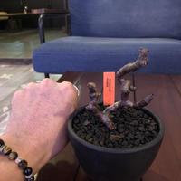 pelargonium  mirabile《M size》※限定1株‼︎  枝ぶりバランスもちょうど良い育て甲斐のあるサイズ感が堪らない‼︎ ※mad black bowl pot植え‼︎