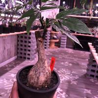 adenia  heterophylla 《M size》※成熟すると赤い梨に似た形の果実ができ、蝶の様な葉がかわいい‼︎※mad black pot植え