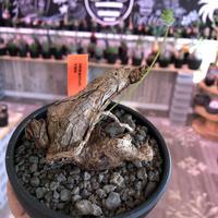 pelargonium  triste《L size》※朽ちくした荒い表皮とweightがlowな上品仕立てが魅力‼︎balance良きトリステ‼︎※mad black bowl pot植え