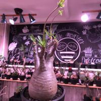 packypodium  gracilius《L size》※現地球発根済株※ストレートに大変balance良&美肌🌼花芽上がり開花目前‼︎美が好きな方にオススメ※mad black pot植え