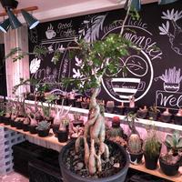 opercullicarya   decaryi  littmon  seed🌱  《4年株》※成長早く例年変化を感じながら育てられる上、幹幅も太く育った良株※mad  black  pot植え