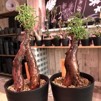mestoklema   tuberosum《小さめM  size》※冬季も成長開花する潅木‼︎丈短で成熟株の表皮肌質‼︎※限定2株