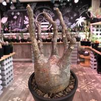packypodium  gracilius《M  size》※現地球発根済株‼︎※大変枝振り&良き若干赤肌質な選抜株‼︎※mad black pot植え