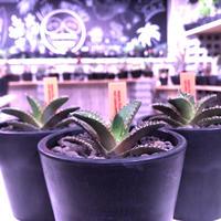 agave  titanota    red  catweezle《S size》※大人気の赤棘チタノタ‼︎ ※mad black pot植え(限定3株)