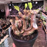 packypodium   enigmaticum《M  size》二分頭株‼︎※現地球発根済株※半端なき荒々しさの上、balanceも良きエニグマW-he'd※ mad  black pot植え